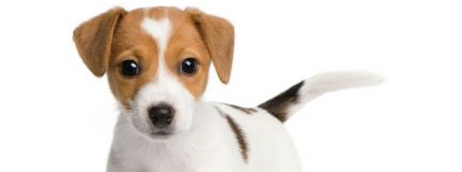 chiot_jack_russell_432_323_filled.jpg
